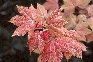 Acer Palmatum Atropurpureum 3044-acer-pseudoplatanus-brilliantissimum-2