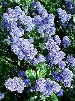 1000 images about ceanothus varieties on pinterest. Black Bedroom Furniture Sets. Home Design Ideas