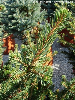 Picea abies 'Wills Zwerg' - dwarf Norway spruce