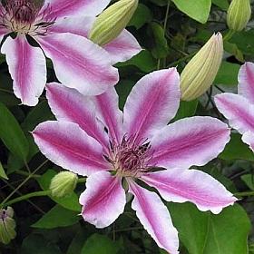 http://www.about-garden.com/images_data/3331-clematis-patens-nelly-moser-plamenek.jpg