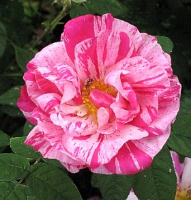 Rosa 'Mundi' - shrub rose