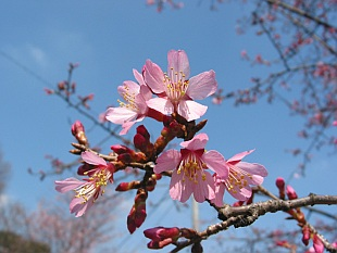 Prunus campanulata 'Okame' - flowering cherry