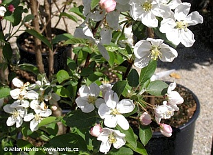 Malus 'Evereste' PERPETU® - crab apple