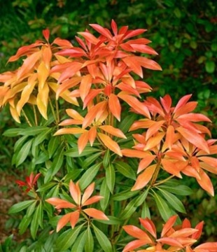 Pieris floribunda 'Forest Flame' - pieris