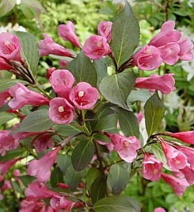 Weigela florida Victoria - weigela | plants / deciduous shrubs | About ...