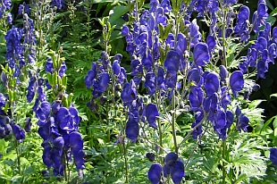 Aconitum napellus - monkshood | plants / perennials | About-