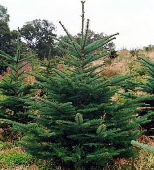 Abies procera - Noble Fir | plants / conifers | About-