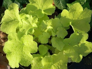 heuchera x villosa citronelle about. Black Bedroom Furniture Sets. Home Design Ideas