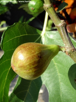 Ficus carica 'Bornholm´s Diamond' - fig tree