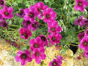 Geranium cinereum 'Purple Pillow' - kakost