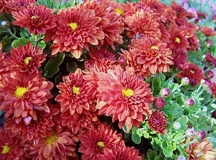 Chrysanthemum - chryzantéma (TIP ZC CS)