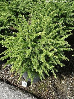 Cedrus Atlantica Compacta About Garden Com