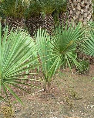 Sabal minor - trpasličí palmetto