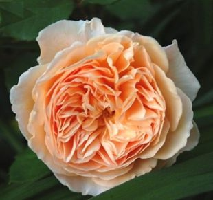 Rosa 'Crown Princess Margareta' - růže