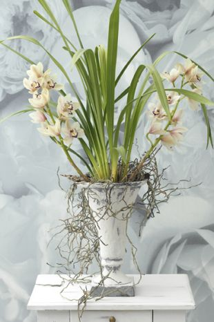 Orchideje: Cymbidium (TIP ZC CS)