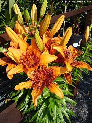 Lilium 'Orange Art' - lilie