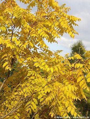Koelreuteria paniculata goldenrain tree Aboutgardencom