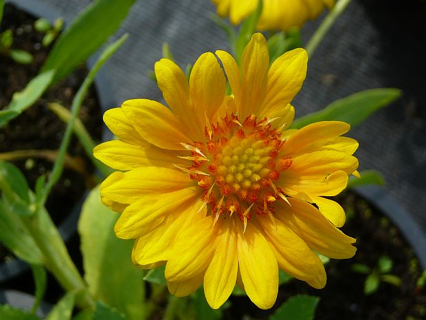 Gaillardia aristata 'Sunburst Orange' - kokarda osinatá