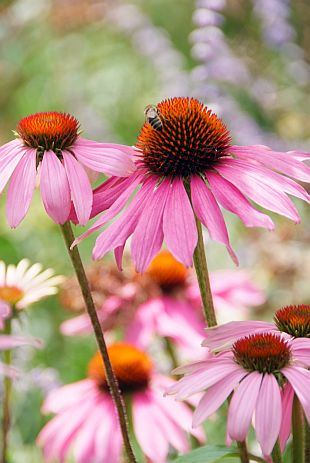 Echinacea, Rudbeckia and summer grasses; foto: Echinacea purpurea Magnus - purple coneflower (PPH): 6915