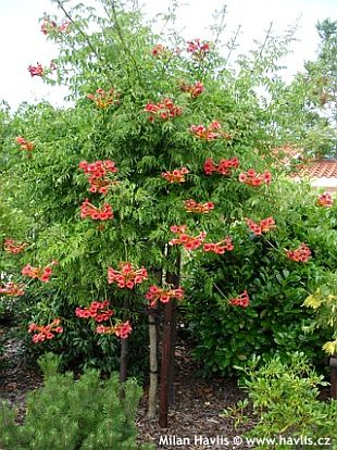 campsis radicans about. Black Bedroom Furniture Sets. Home Design Ideas