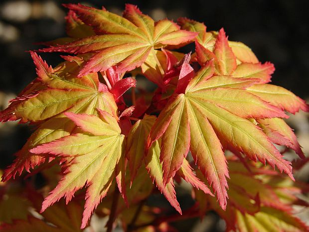 Acer palmatum 'Orange Dream' - javor dlanitolistý