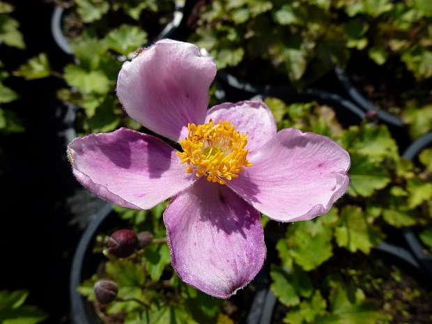 Anemone hupehensis 'Little Princess' - sasanka