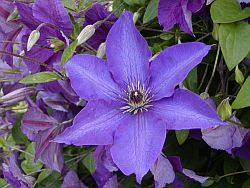 caring for clematis 1 about. Black Bedroom Furniture Sets. Home Design Ideas
