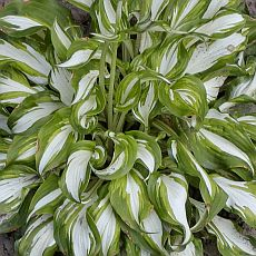 хоста undulata mediovariegata фото