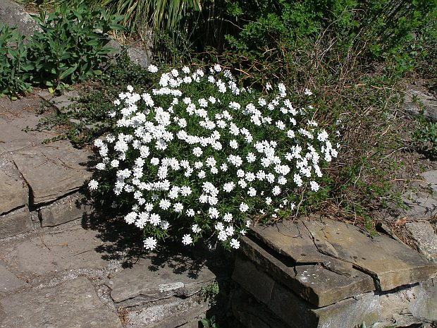 Photo gallery iberis sempervirens 1 about for Iberis sempervirens