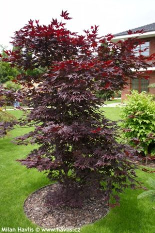 acer palmatum bloodgood about. Black Bedroom Furniture Sets. Home Design Ideas