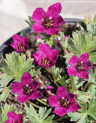 Geranium cinereum 'Purple pillow' - kakost sivý