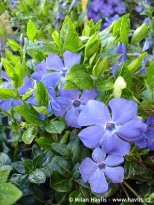 Vinca minor Bowles - periwinkle: 8129