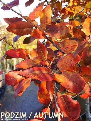 Amelanchier arborea 'Robin Hill' - downy serviceberry