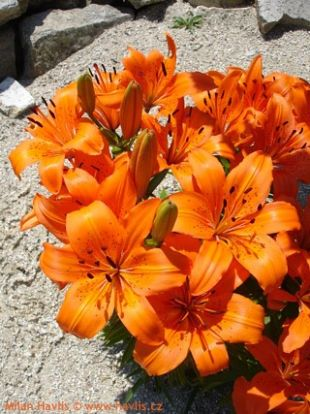 Lilium 'Orange Pixie' - lilie