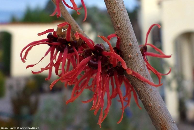 Hamamelis x intermedia 'Feuerzauber' - witch hazel