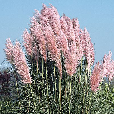 Cortaderia selloana 'Pink Feather' - kortadéria