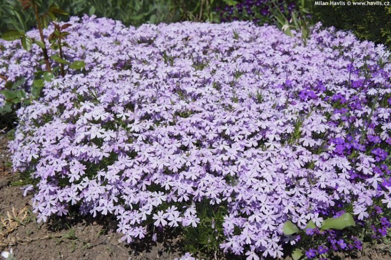 Phlox 'Emerald Cushion Blue' - plaménka, flox