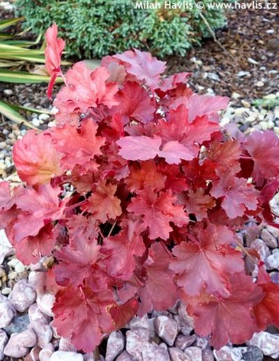 Heuchera 'Cherry Cola'' - dlužicha