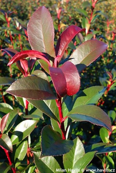 Photo gallery evergreen shrubs p1 about - Photinia fraseri carre rouge ...