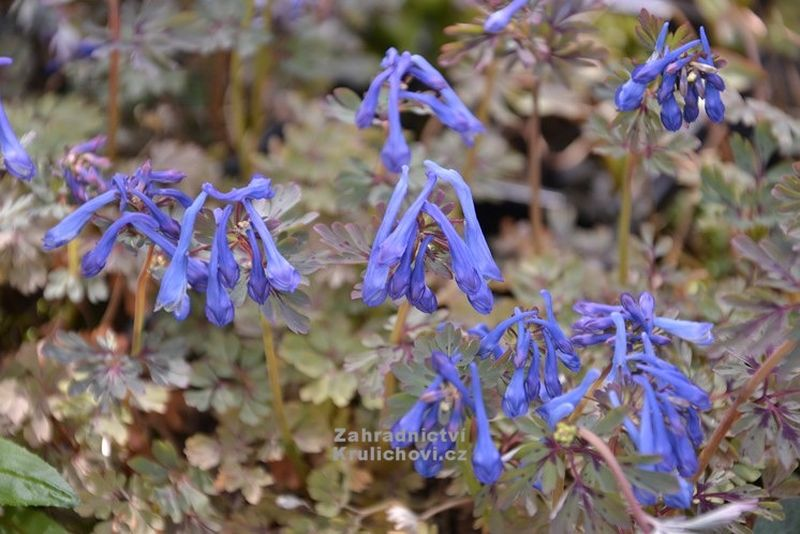 Corydalis flexuosa 'Purple Leaf' - dymnivka