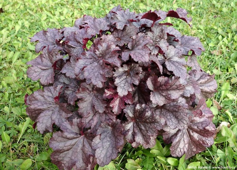 Heuchera 'Plum Pudding' - dlužicha