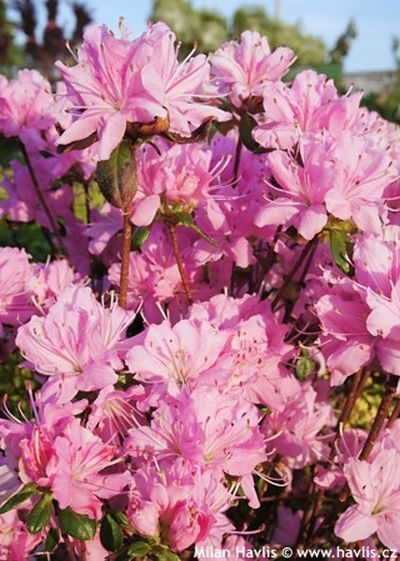 Photo gallery azalea japonica 1 about for Azalea japonica