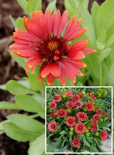 Gaillardia 'Arizona Red Shades' - kokarda