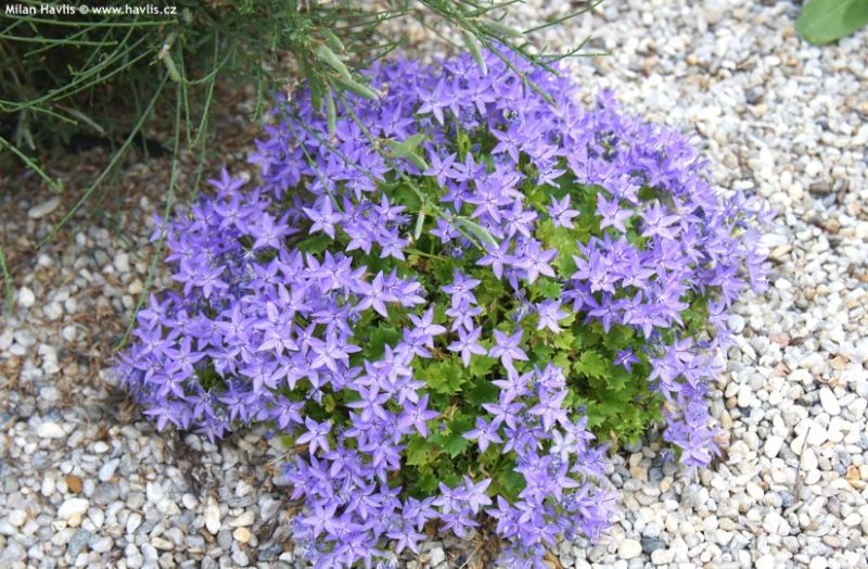 Campanula garganica 'Filigree Light Blue' - zvonek garganský
