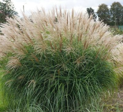 Photo gallery miscanthus 1 about for Decoration jardin caillou