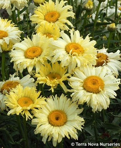Leucanthemum 'Goldfinch' - kopretina (TERRA NOVA NURSERIES)