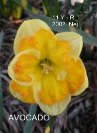 Narcis Avocado - Collar narcisy