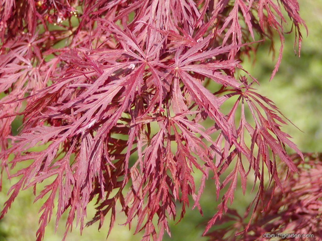Photo Japanese Maple Dissectum Atropurpureum About Gardencom