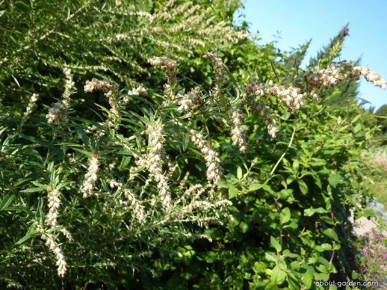 Pelyněk černobýl Oriental Limelight - květ (Artemisia vulgaris)