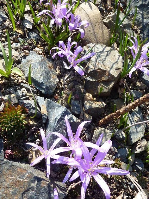 Spring Meadow Saffron - Colchicum bulbocodium